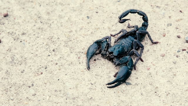 menacing asian forest scorpion (heterometrus) close up. - scorpion stock videos & royalty-free footage