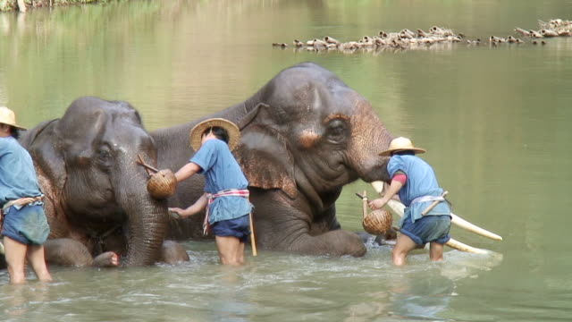 ms men's giving bath to elephants / chiang mai, thailand - チェンマイ県点の映像素材/bロール