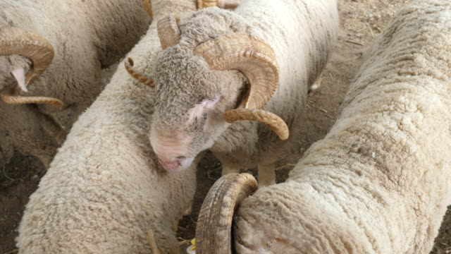 merino sheep animal - sheep stock videos & royalty-free footage