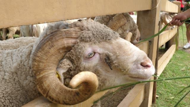 merino sheep animal - merino sheep stock videos and b-roll footage