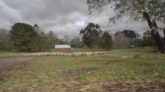 Merino sheep are herded towards a holding pen near a shearing shed at the Lal Lal Estate sheep farm owned by Tianyu Wool Industry Co in the town of...