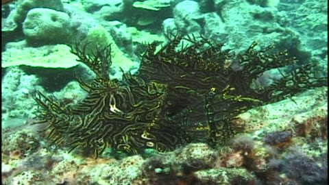 merlet's scorpionfish (rhinopias aphanes). reef.  papua new guinea - drachenkopf stock-videos und b-roll-filmmaterial