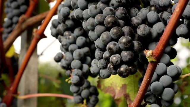 merlot grapes detail - bunches stock videos & royalty-free footage