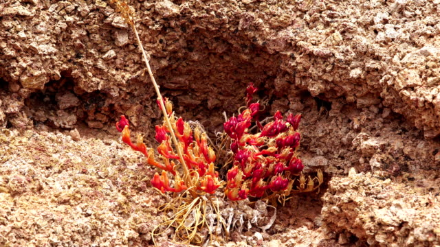 mesembryanthemum crystallinum - fuerteventura, montaña roja - aptenia stock-videos und b-roll-filmmaterial
