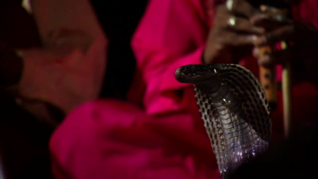 cu tu mesmerized cobra (naja naja) and two colorfully dressed snake charmers playing ornately decorated makuti flutes, delhi, india - hypnosis stock videos & royalty-free footage