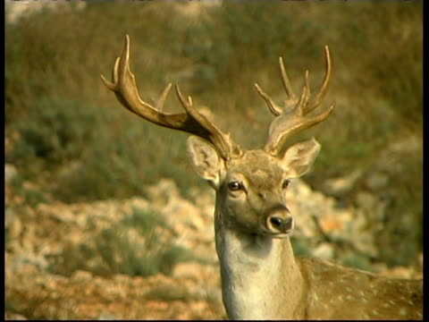 mesopotamian fallow deer, dama mesopotamica, male head and antlers, cu head turns to camera, israel - turning stock videos & royalty-free footage