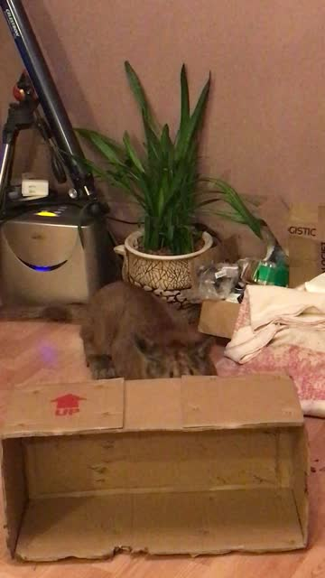 messi the domesticated puma plays with an empty cardboard box just like any other cat! how cool is that? - cool box stock videos & royalty-free footage