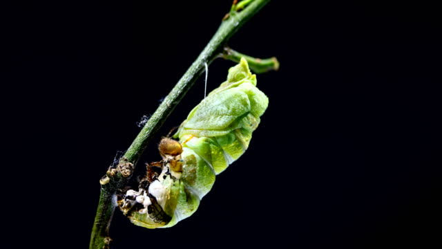 metamorphosis of caterpillar to cocoon time lapse - farfalla video stock e b–roll