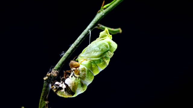 metamorphosis of caterpillar to cocoon - chrysalis butterfly ball video stock e b–roll