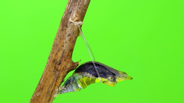 Metamorphosis of Chrysalis butterfly ball time lapse green screen background