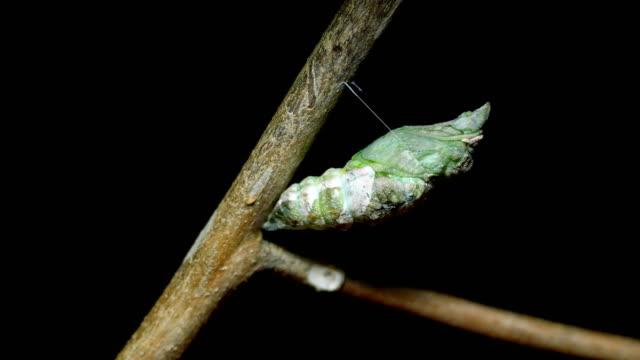 vidéos et rushes de métamorphose du laps de temps pour le papillon cocon - cocon