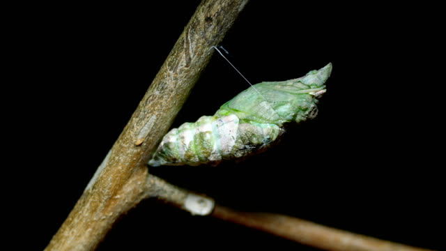 Metamorphosis of cocoon butterfly time lapse