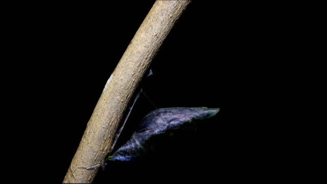 vidéos et rushes de métamorphose du laps de temps de papillon machaon 4k - cocon