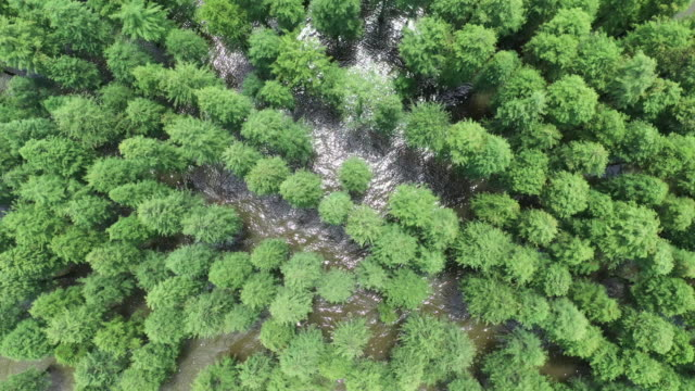 metasequoia in shaoyang, china - pinacee video stock e b–roll