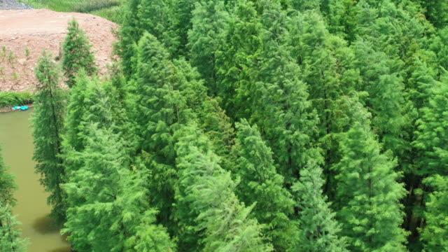 vídeos y material grabado en eventos de stock de metasequoia in shaoyang, china - árbol de hoja caduca