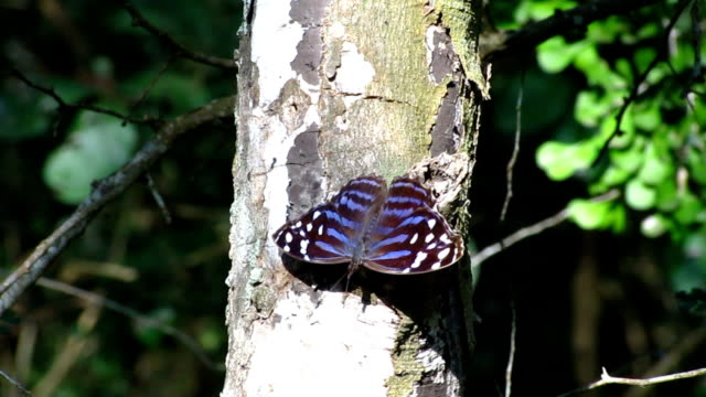 mexican bluewing butterfly - invertebrate stock videos & royalty-free footage