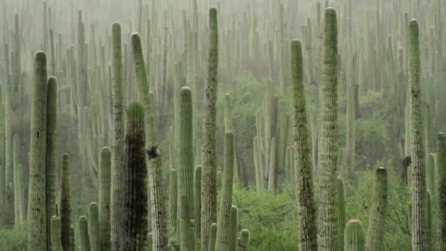 vidéos et rushes de désert mexicain de tehuacán et la vallée de cuicatlán - cactus