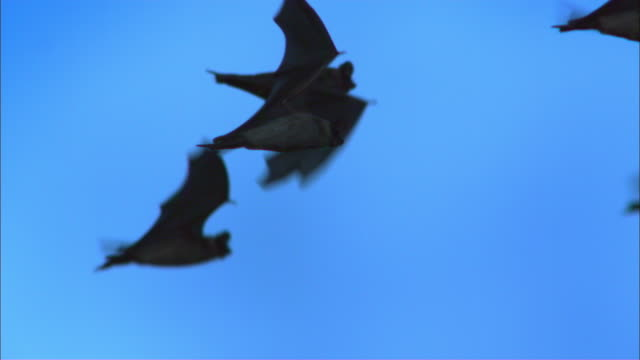 slomo ms mexican free tailed bats flying in profile - pipistrello video stock e b–roll