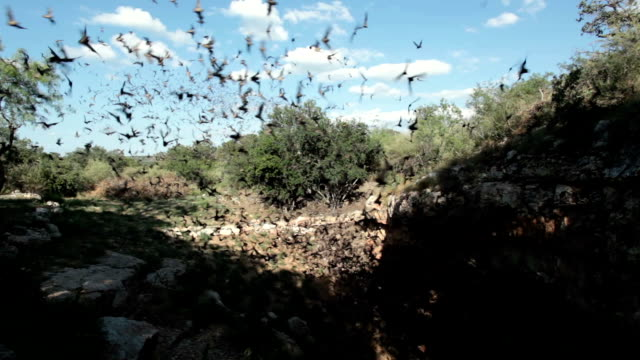 mexican free-tailed bats flying outside cave texas - bat animal stock videos and b-roll footage