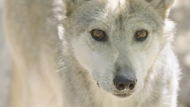 vídeos y material grabado en eventos de stock de mexican grey wolf looking into camera. - lobo mexicano