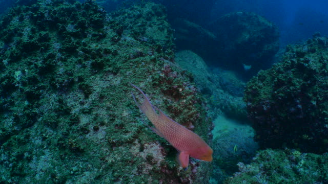 メキシコの hogfish と海底のサンゴ礁で泳ぐブダイ - チャールズ・ダーウィン点の映像素材/bロール