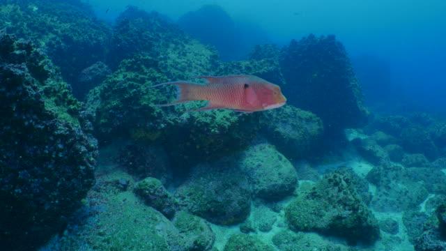 Mexikanska Hogfish, undervattenskabeln reef
