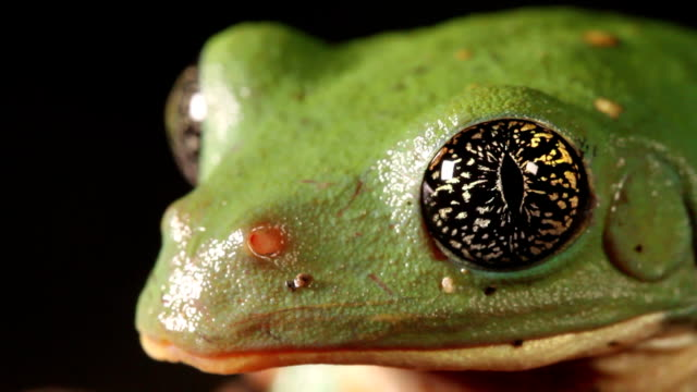 mexican leaf frog - mexican american stock videos & royalty-free footage