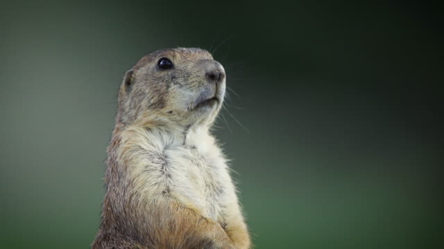 mexican prairie dog - rodent stock videos & royalty-free footage