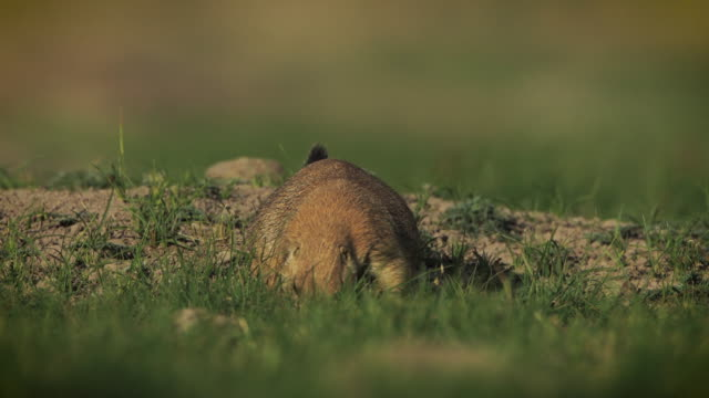 mexican prairie dog - mexican american stock videos & royalty-free footage