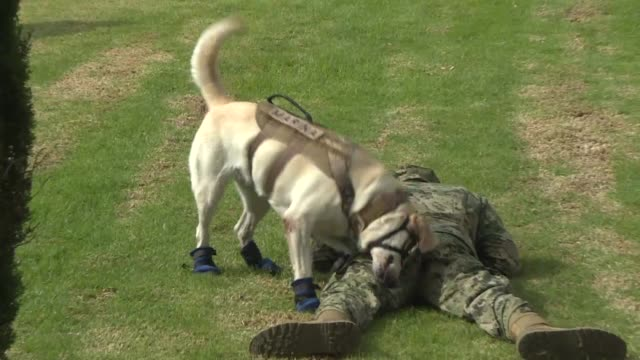 Mexican rescue dog Frida who won the hearts of Mexican following the deadly quake that hit the capital in September participates in an army rescue...