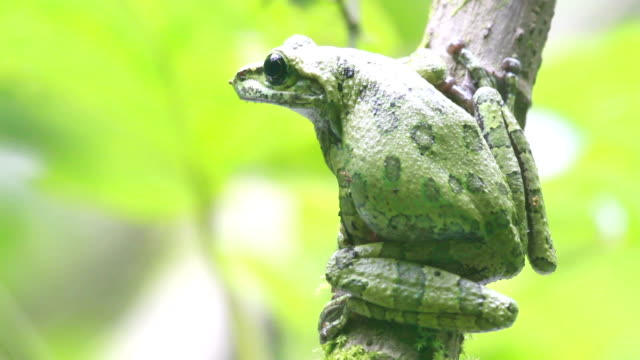 mexican tree frog - mexican american stock videos & royalty-free footage