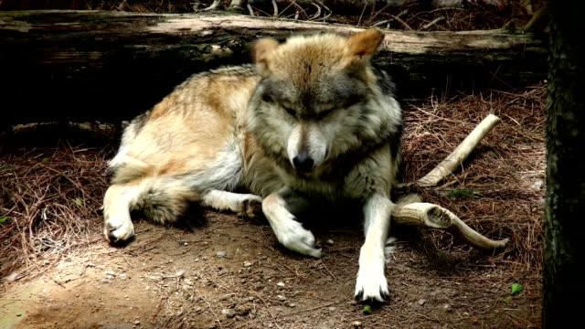 vídeos y material grabado en eventos de stock de lobo mexicano  - lobo mexicano