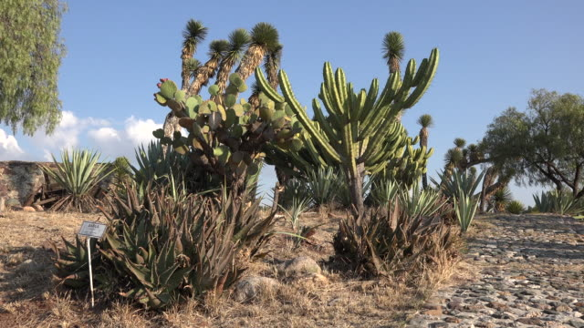 mexico cacti and yucca under blue sky - yucca stock videos & royalty-free footage