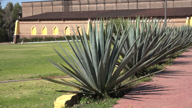 stockvideo's en b-roll-footage met mexico centinela factory agave plants - tuinpad