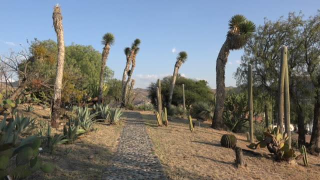 mexico giant yucca frame path - yucca stock videos & royalty-free footage