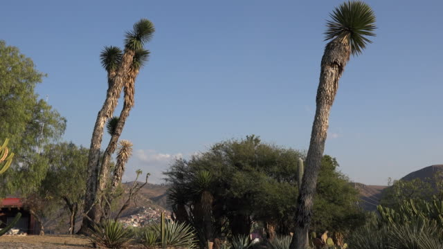 mexico guanajuato yucca and blue sky - yucca stock videos & royalty-free footage