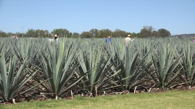 vídeos y material grabado en eventos de stock de mexico jalisco agave field with workers - campo tierra cultivada