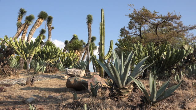 Mexico maguey with cacti and yucca beyond