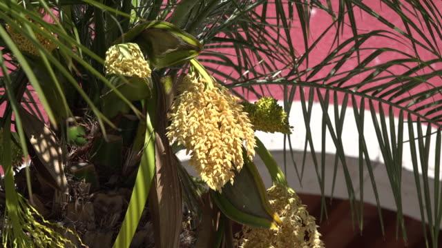vidéos et rushes de mexico san julian flowering palm tree - fronde
