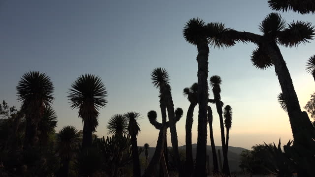 Mexico silouette of tall yucca plants