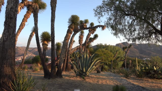 Mexico tree yucca and maguey in golden light