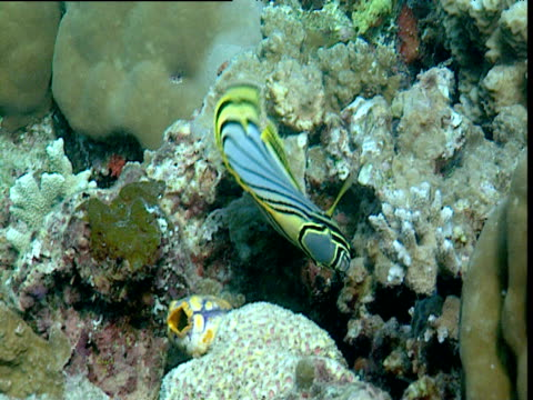 meyer's butterflyfish swims around coral, sulawesi - invertebrate stock videos & royalty-free footage