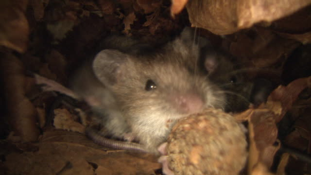 mice in their burrow in the forest - loch stock-videos und b-roll-filmmaterial