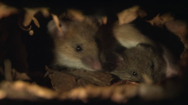Mice Making Own Bed With Fallen Leaves In The Forest