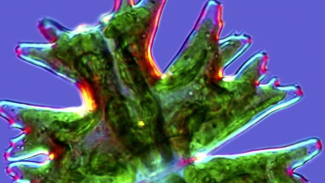 micrasterias desmid, light micrograph - alga verde video stock e b–roll