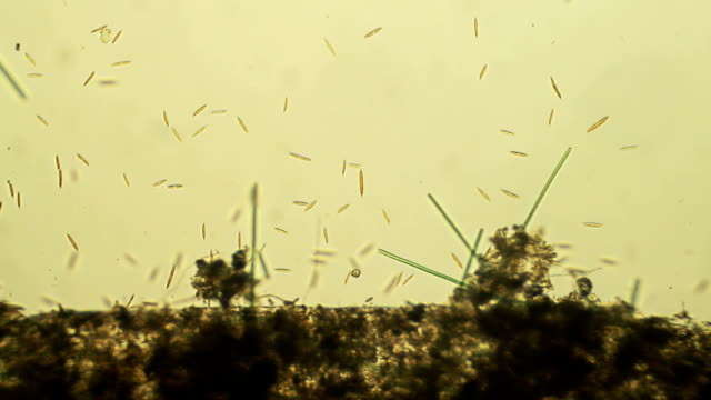 stockvideo's en b-roll-footage met micro organisms: diatoms - high scale magnification