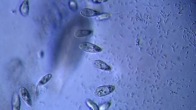 vidéos et rushes de micro-organismes flottant dans l'eau sale - paramécie