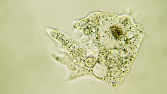 microorganism - amoeba - biological cell stock videos and b-roll footage