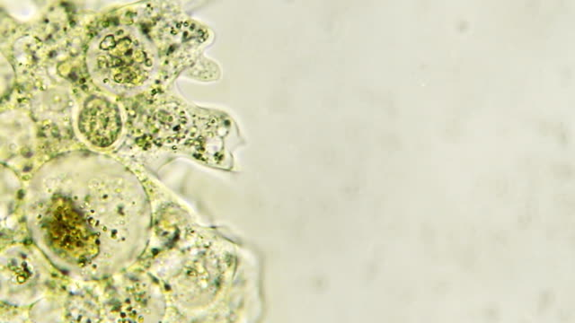 microorganism - amoeba (copy space) - unicellular organism stock videos and b-roll footage