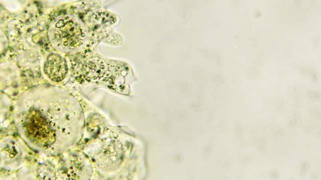 vídeos de stock, filmes e b-roll de microorganism-ameba (espaço para texto) - protozoário
